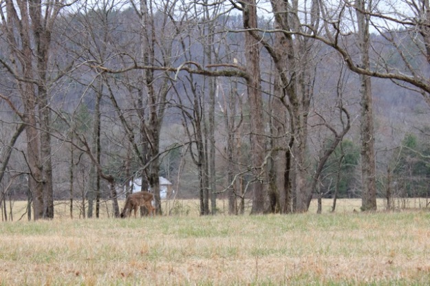 A beautiful deer on the drive through Cades Cove.