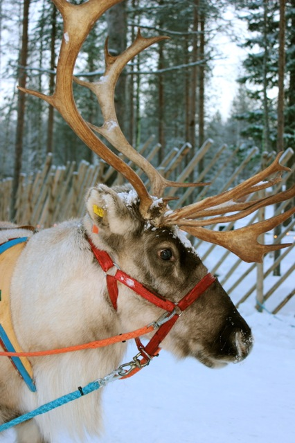 One of Santa's beautiful reindeer.  There are more reindeers than people in Rovaniemi! It was amazing to see a real one in person!