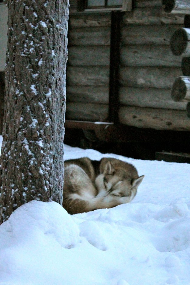 I saw this husky sleeping so peacefully in the snow when we first arrived for our sled ride.