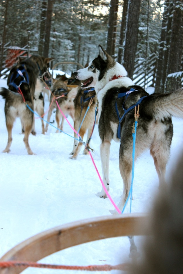 The huskies getting ready for our sled ride.