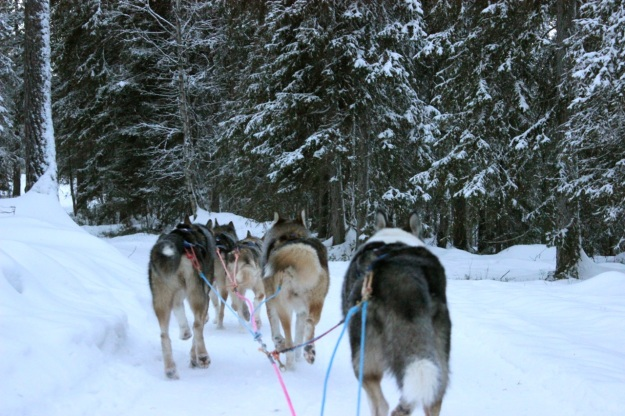 The huskies working hard  on our ride through a beautiful  snow covered forest.