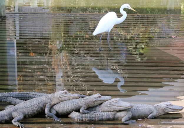 A beautiful white crane taking a walk behind four scary gators!