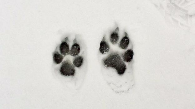 Doggy footprints in the snow!