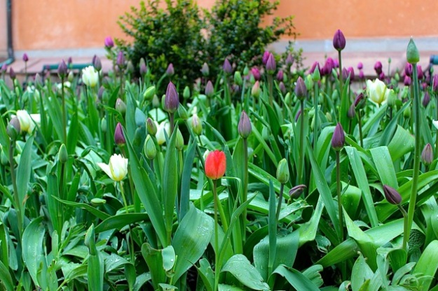 A lovely red tulip stands out in the crowd at Gamla Stan (Old Town).