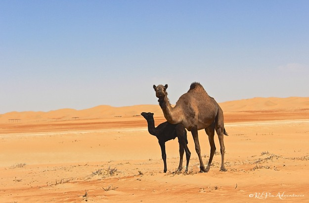 I was pretty excited to get this shot (Abu Dhabi camels: mom and baby)!