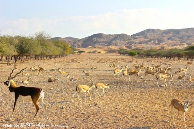 Sand Gazelles and a Beisa Oryx in front of the beautiful salt domed hilltops on our safari.