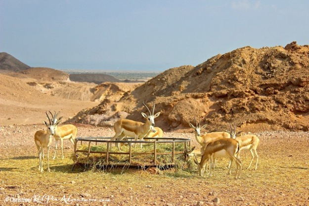 Beautiful sand gazelles on our safari.