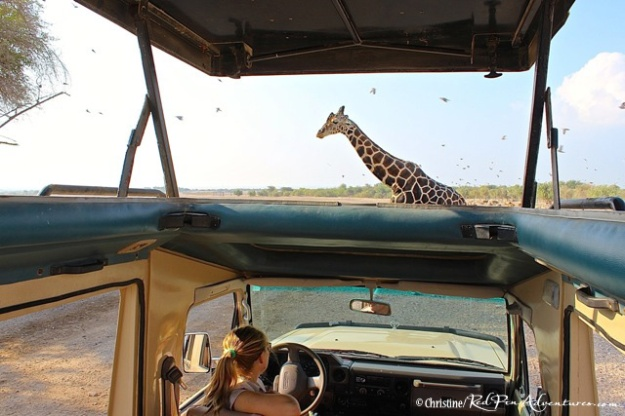 A beautiful giraffe crossing in front of our game viewer vehicle during our safari!