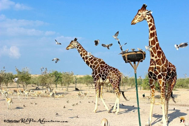 Two stunning Reticulated Giraffes on our safari.