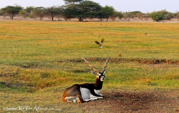 A stunning Blackbuck/Indian Antelope on the island.