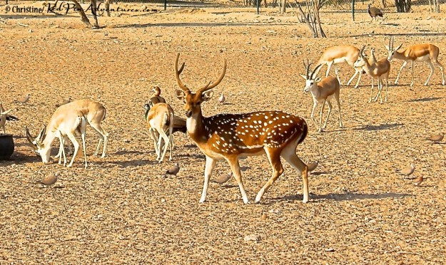 A stunning male Axis/Indian Spotted deer on our safari.