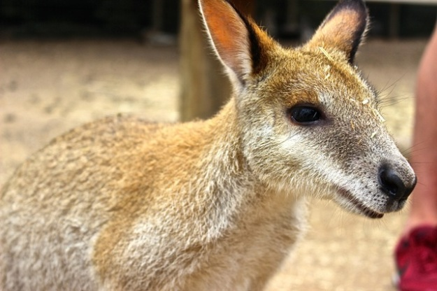 A close-up of one of the beautiful kangaroos at the park.