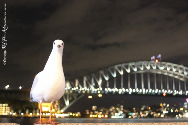 One of the many Mine! Mine! birds who enjoyed hanging out with us over dinner overlooking the beautiful Sydney Harbour.